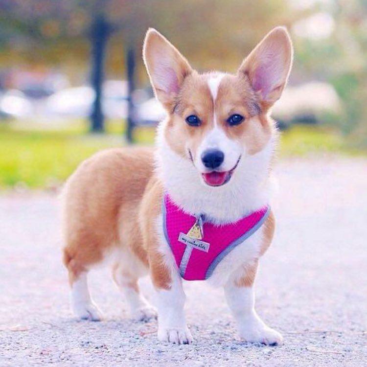 A Cute Corgi Wearing A Dog Harness That Fits Corgi S Perfectly