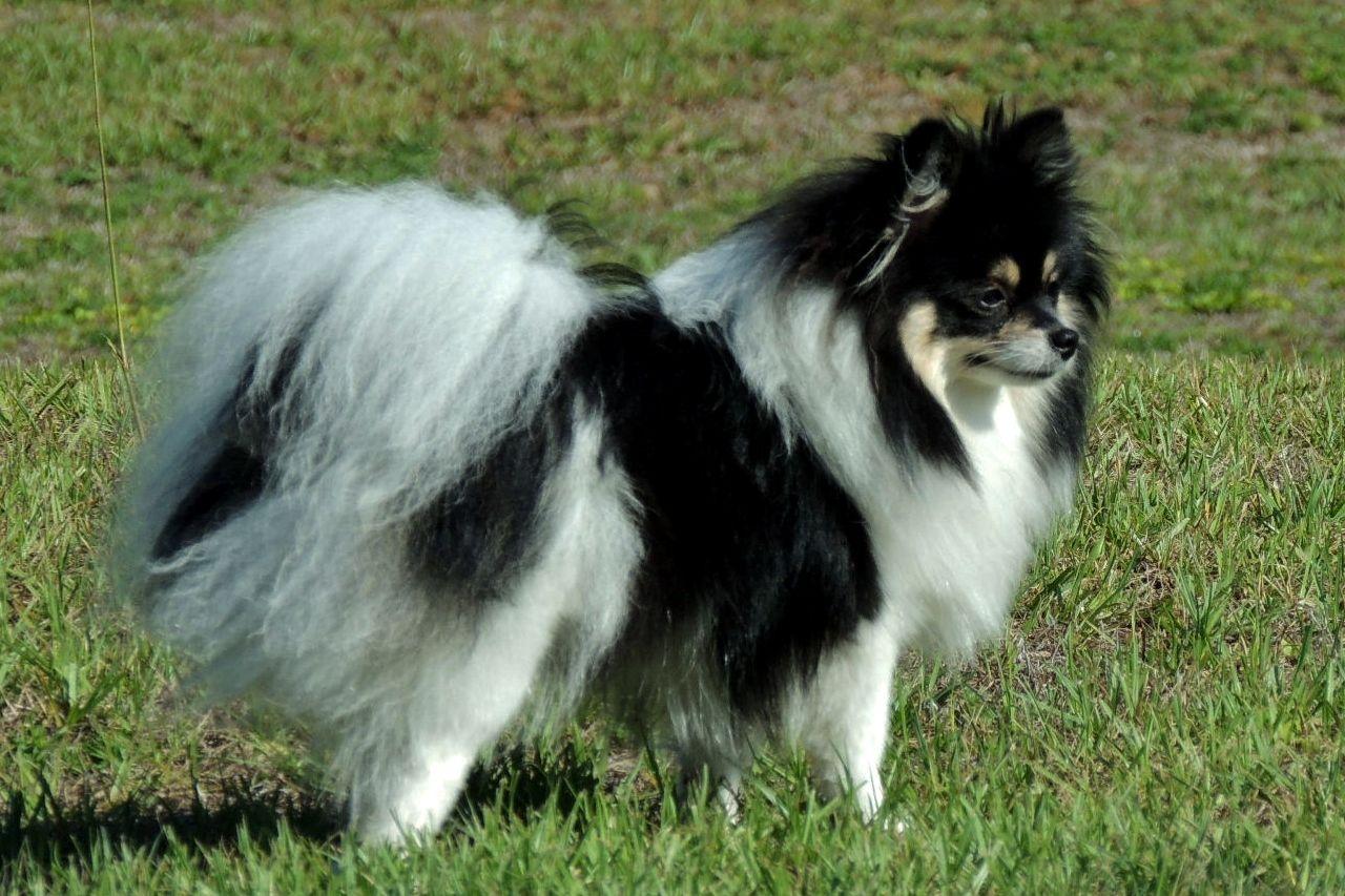 Parti Color Pomeranian With Images