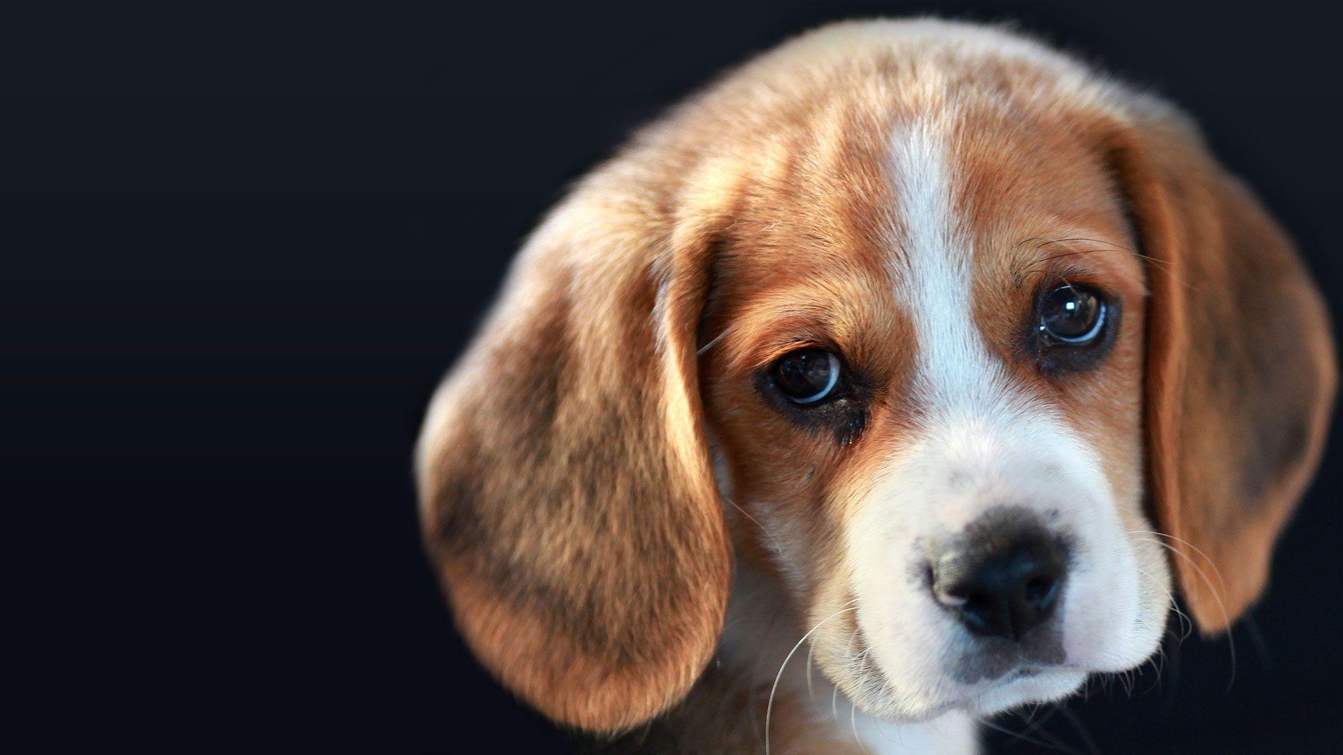 Le beagle, chien de chasse et compagnon fidèle | Beagles ...