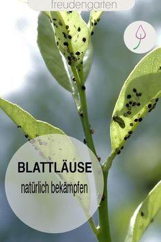 Blattläuse natürlich ohne Chemie bekämpfen