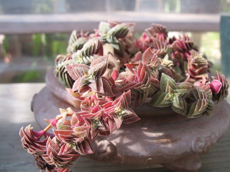 Jade Plant? - CactiGuide.com