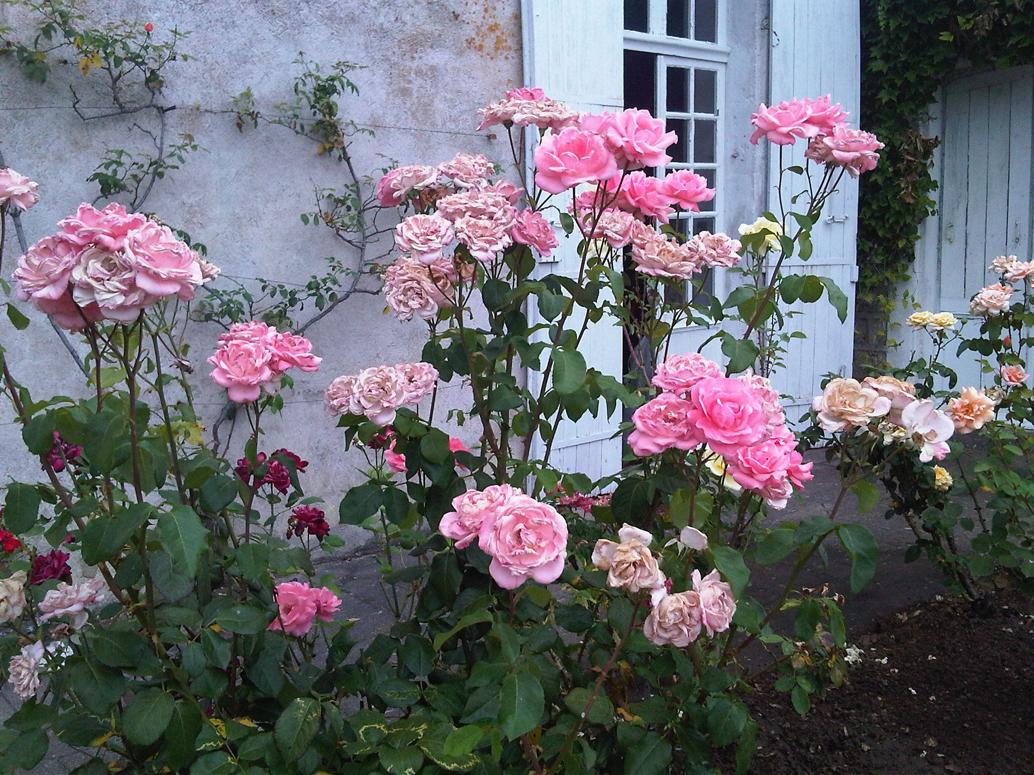 French Rose Garden Delights Growing Roses French Rose French Garden
