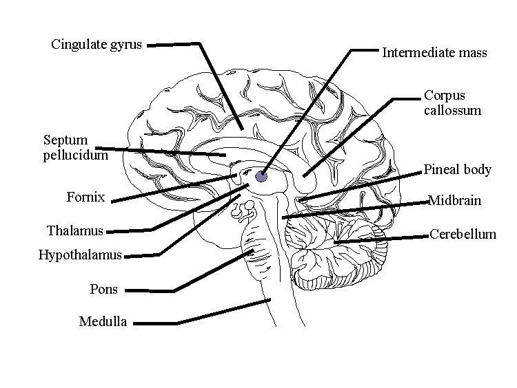 Parts of the Brain | SLP Ideas!! :) | Pinterest | Brain, Brain ...
