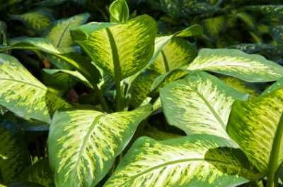 Broad Leaves Handsomely Marbled With Green And White Have Made Dumb Cane Ffenbachia Maculata Tropic Snow Pictured Here A Favorite House Plant For