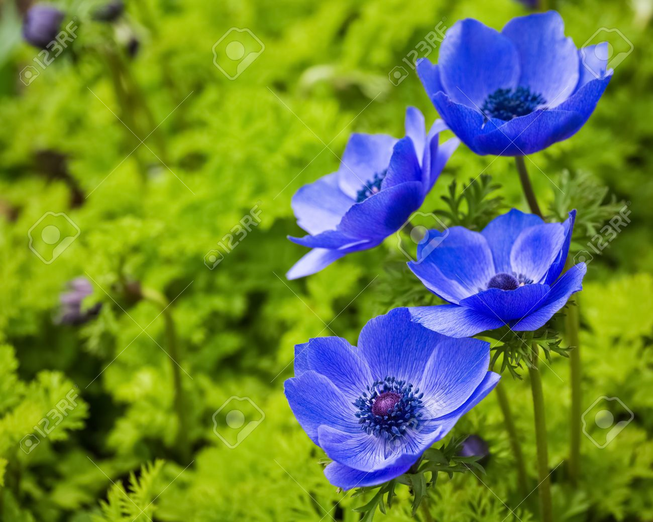 Beautiful Anemone Flower Images Stock Pictures Royalty Free Bloom Blossom Beautiful Blooms