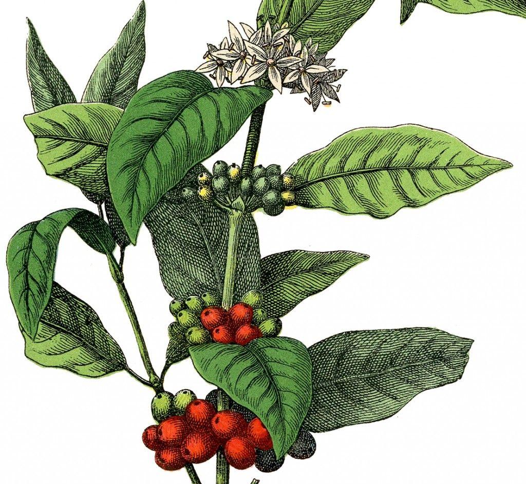 Free Stock Image Coffee Plant! Seni, Objek gambar, Mural