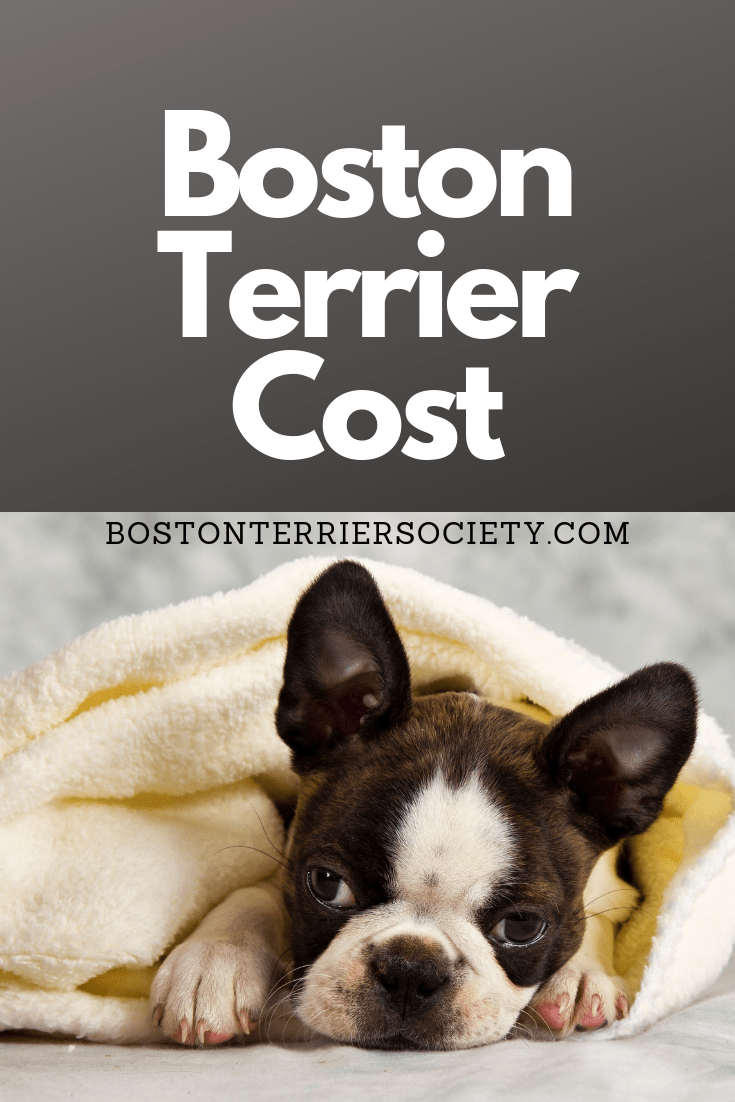 How Much Do Boston Terriers Cost Boston Terrier Society Boston Terrier Terrier Boston Terrier Funny