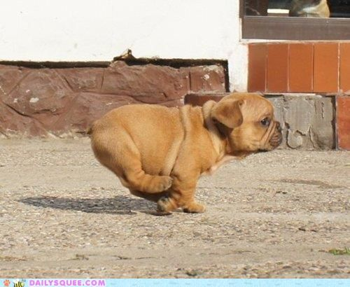 Good Chunky Chubby Adorable Dog - c3eb710262e624f2a025bfb984727931  Pictures_899130  .jpg