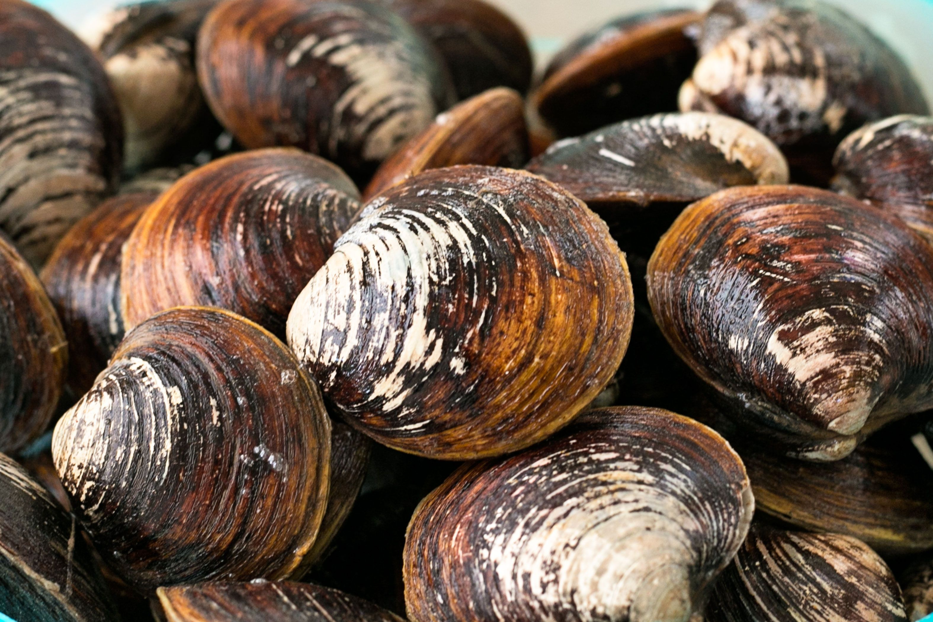 how to keep fresh clams alive ehow clams fresh scallops fresh how to keep fresh clams alive ehow