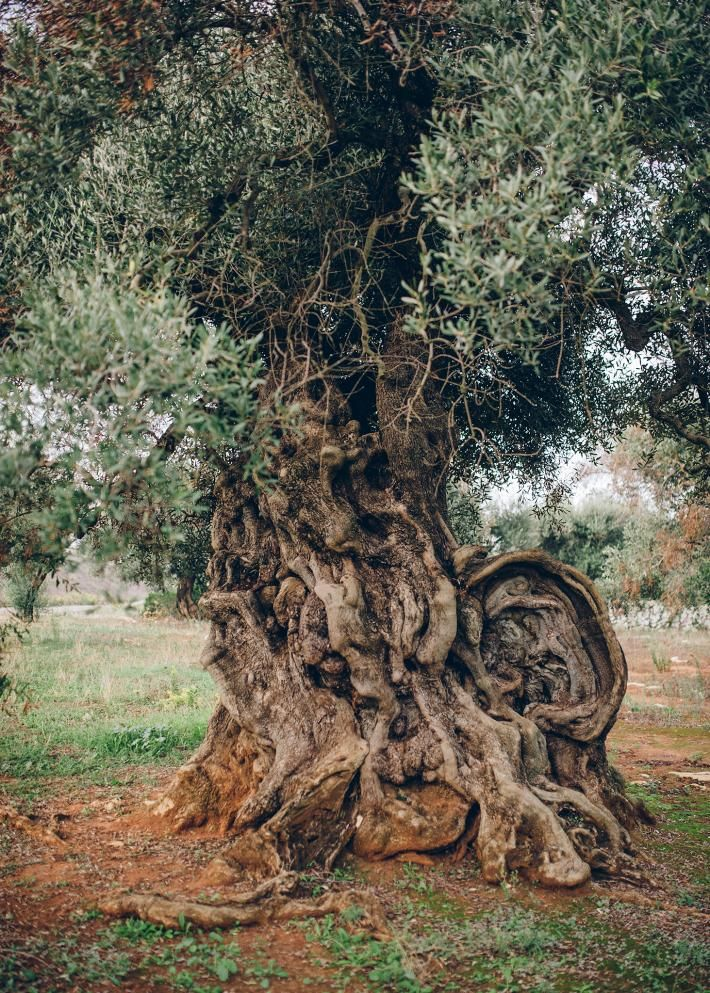 Italy's Olive Trees Are Dying. Can They Be Saved? in 2020