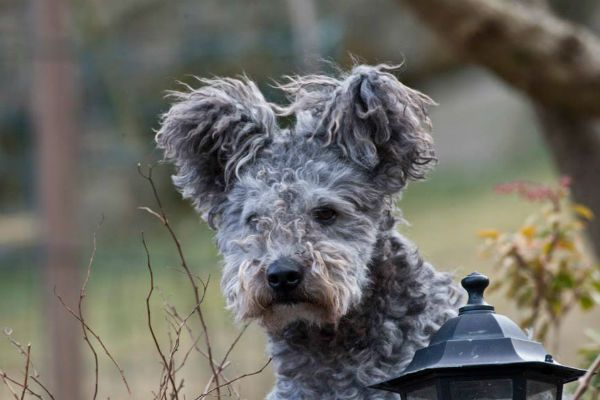 See 10 Adorable Pictures Of The Pumi, AKC's Newest Breed