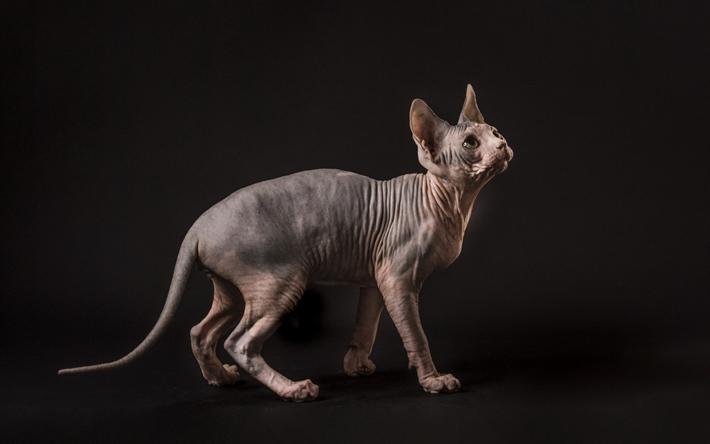 Lataa kuva kissa, sfinksi, kissa ilman villaa, kissat