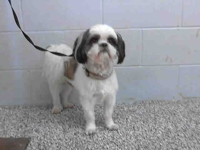 SAFE --- #A474694 Release date 10/25 I am a male, white and brown Shih Tzu. I have been at the shelter since Oct 18, 2014.  If I am not claimed, after my stray holding period, I may be available for adoption on Oct 25, 2014. ...—  City of San Bernardino Animal Control-Shelter. https://www.facebook.com/photo.php?fbid=10203783923736133&set=a.10203202186593068&type=3&theater