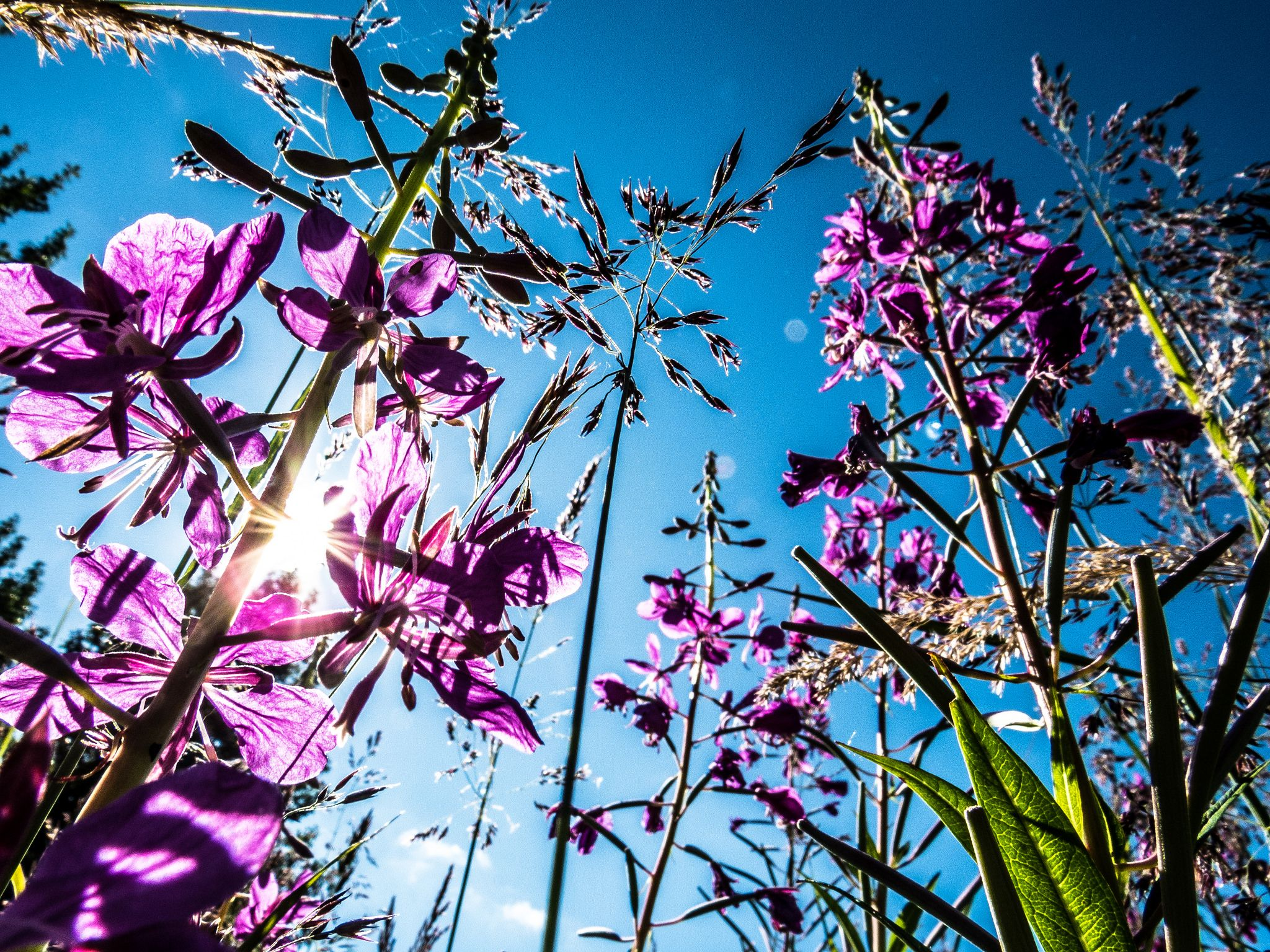 https://flic.kr/p/KEJP5Y | A view through fireweed | Habitat on Kodiak Refuge includes a variety of plant species important for wildlife, including this colorful fireweed (Chamerion angustifolium). Both bears and Sitka black-tailed deer browse Kodiak's abundant fireweed meadows.  Photo: Joshua Blouin/USFWS