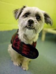 Meet Magic! Magic is an adorable Shih Tzu mix with an adorable underbite! She is available for adoption now and is looking for a quiet home with a lap to curl up in and arms to be held in! How can you resist that face?