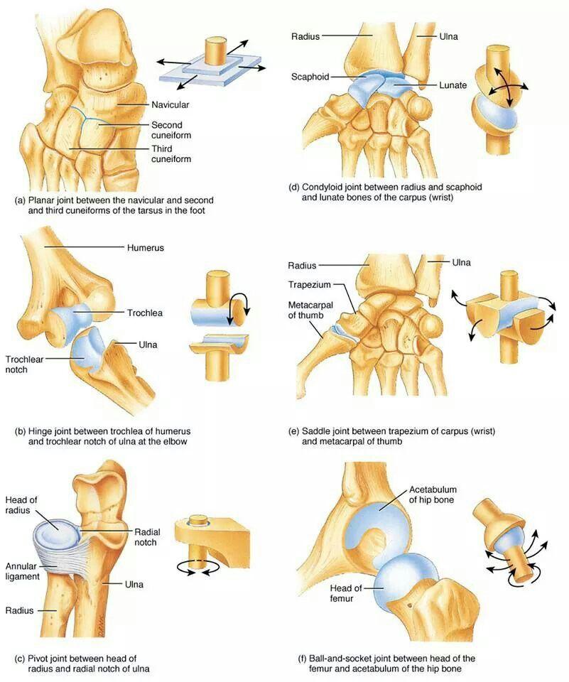 Joints   Anatomy & physiology   Pinterest   Medical