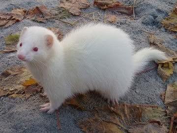 White Ferret | Nao filmei ainda e ela eh bem menor, essa foto eh da internet. Vou ...