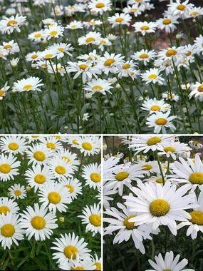 Chrysanthemum Superbum Collection Chrysanthemum Growing Chrysanthemum Flower Care