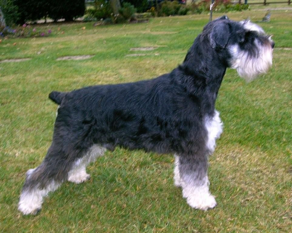 Black And Silver Giant Schnauzer Giant Schnauzer Schnauzer Dogs