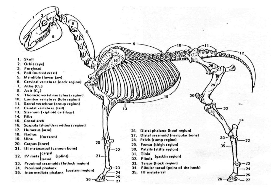 Horse Anatomy Skeletal Animal Med Pinterest
