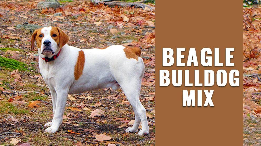 Beagle Bulldog Mix Beagle Beagle Puppy Most Popular Dog Breeds