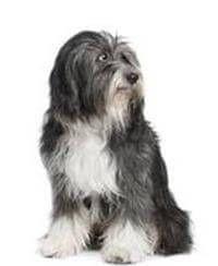 Tibetan Terrier Tibetan Terrier Terrier Dog Breeds Terrier Dogs