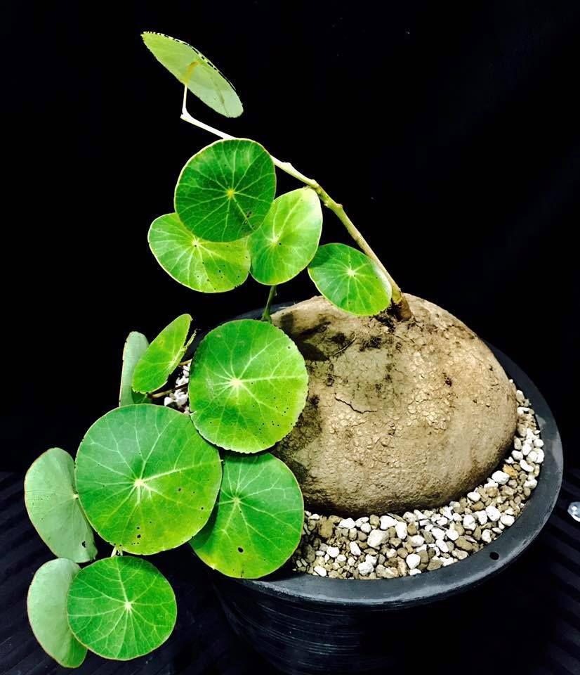 stephania erecta | plants | pinterest | pflanzen, garten and