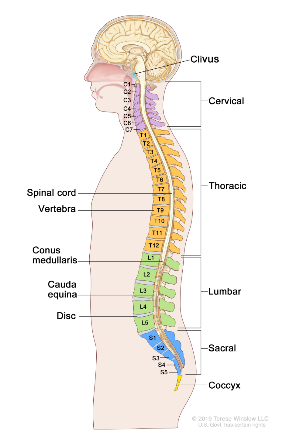 The Spine Google Search Gynecological Cancer Spinal Joints Anatomy