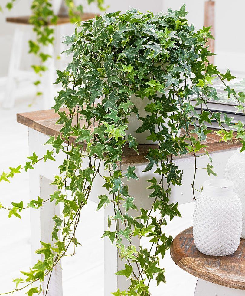 achetez maintenant une plante d int rieur lierre panach. Black Bedroom Furniture Sets. Home Design Ideas