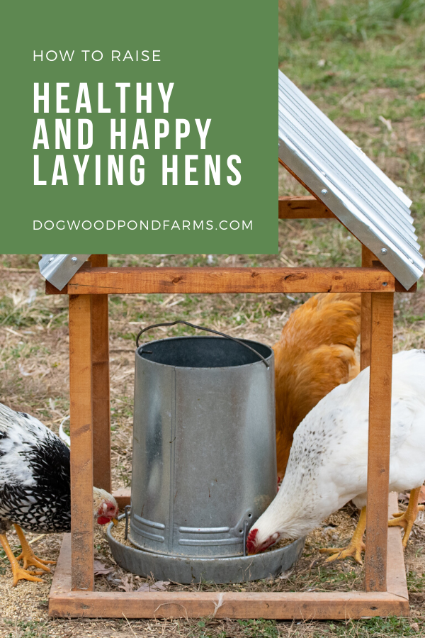 How to Raise and Care for Laying Hens in Your Backyard in ...