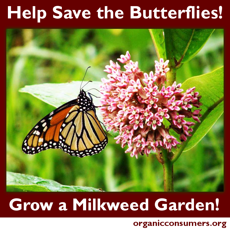 Without milkweed monarchs will continue to disappear