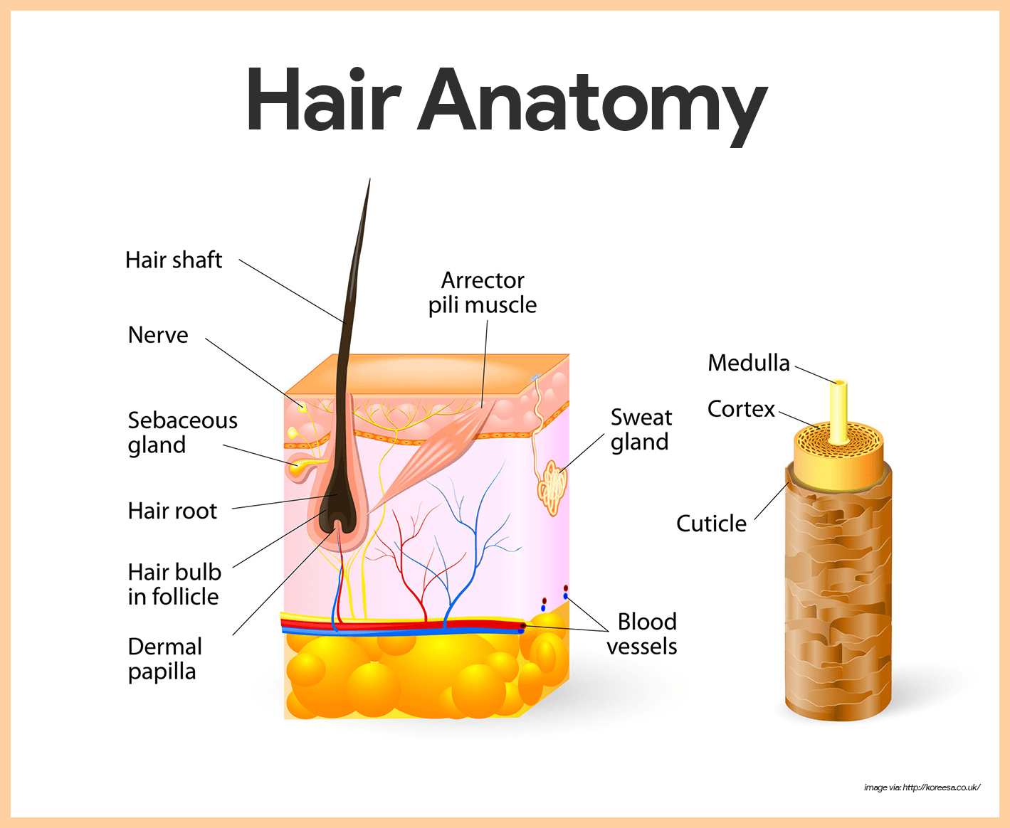 integumentary system The integumentary system includes the skin -- the largest organ of the body -- along with the hair, nails, and sweat and oil glands like an overcoat, the.