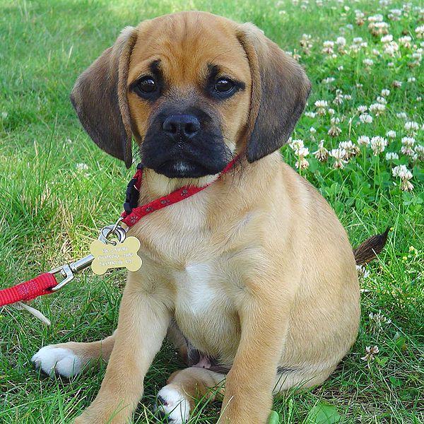 And I Really Really Really Need A Puggle Puggle Puppies Pug