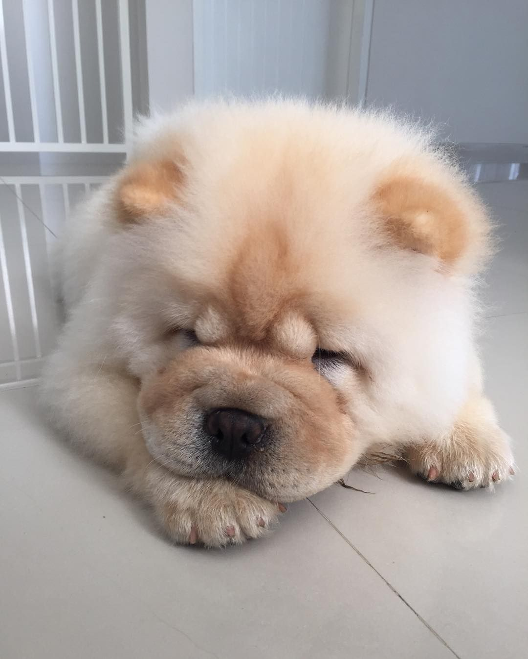 Chow Chow With Images Chau Chau Dog Cute Puppies