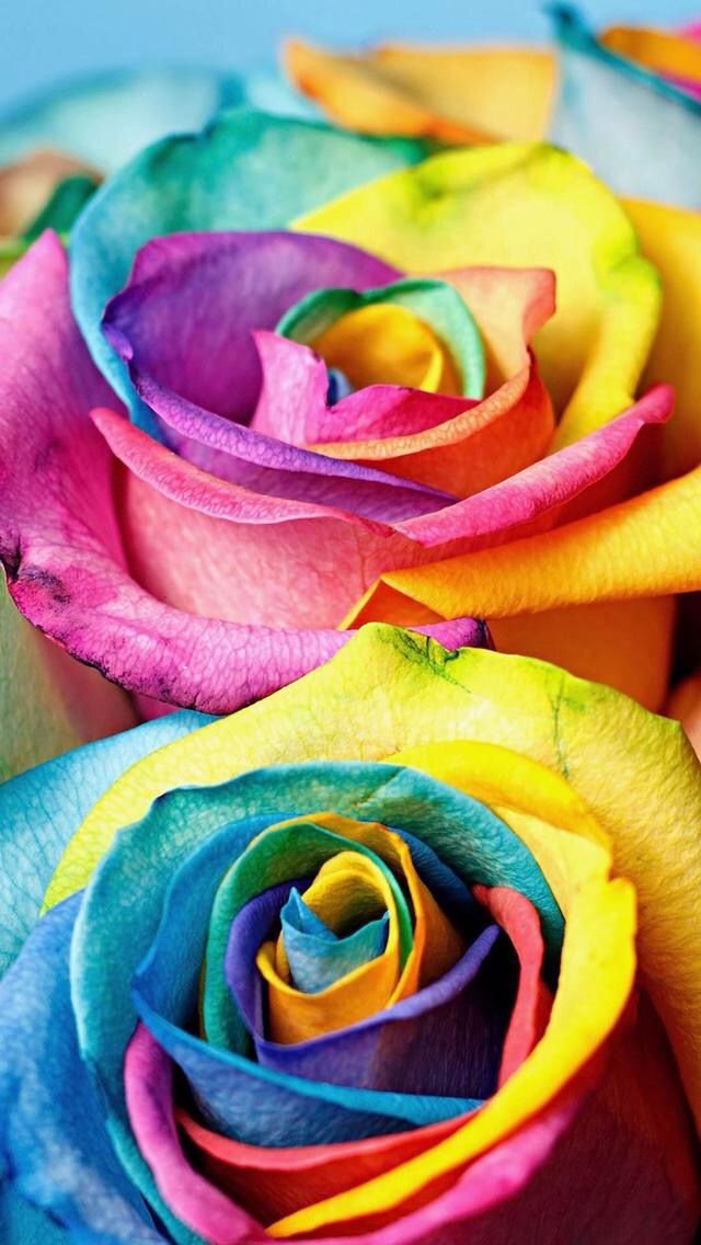 Different Color Flowers Beautiful Rose Flowers Rainbow Roses Beautiful Roses