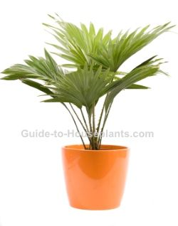 European Fan Palm Tree Chamaerops Humilis Pictures Care Tips