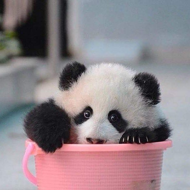 """@thepandaworks on Instagram: """"Why do panda bears love to fill themselves up in containers?"""
