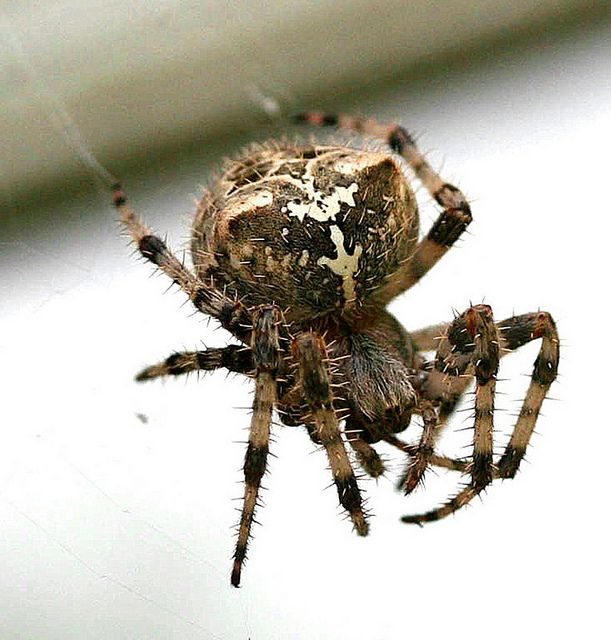 Araneus Cavaticus Commonly Known As The Barn Spider Is A