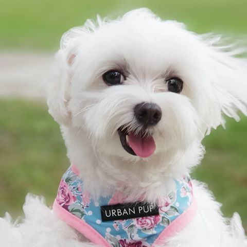 Puppies Puppies Puppies What To Expect From Your Maltese