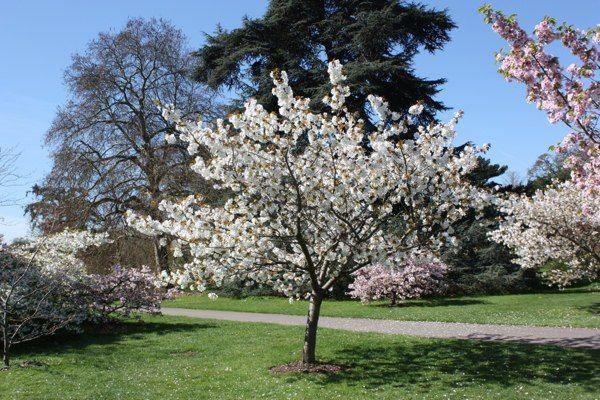 Prunus Taihaku Great White Cherry Tree Shrub Majestic Trees Cottage Garden Garden Design Shrubs