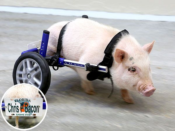 Chris P Bacon Pig With Wheelchair Gets Hernia Operation Photo Cute Animals Cute Pigs Pets