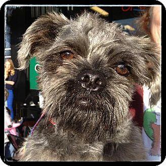 Phoenix Az Standard Schnauzer Shih Tzu Mix Meet Smokie A Dog For Adoption Http Www Adoptapet Com Pet 10124136 Phoenix A Dogs Dog Search Poodle Mix Dogs