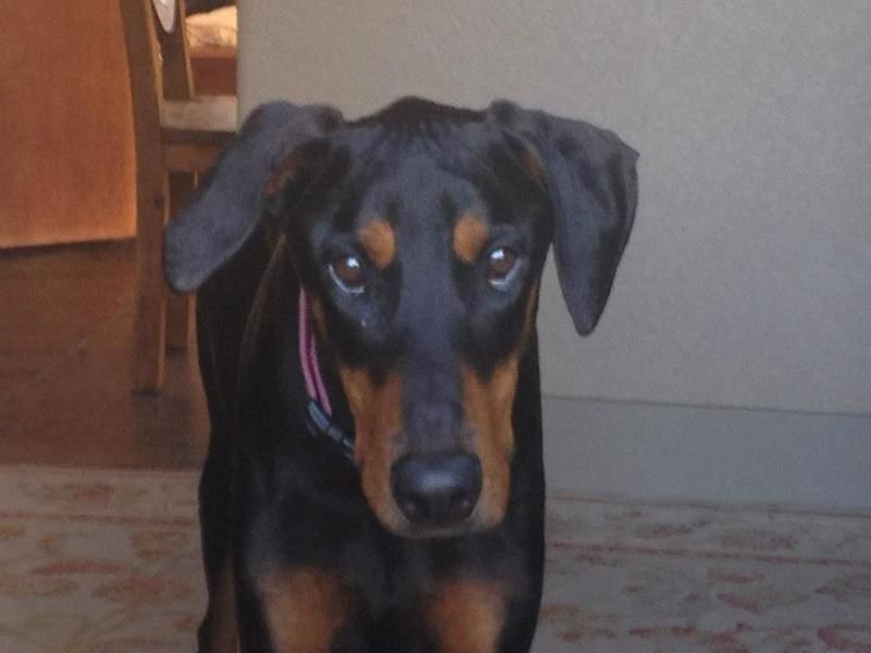 Adopt Fletch On Doberman Pinscher Dog Doberman Rescue Dogs