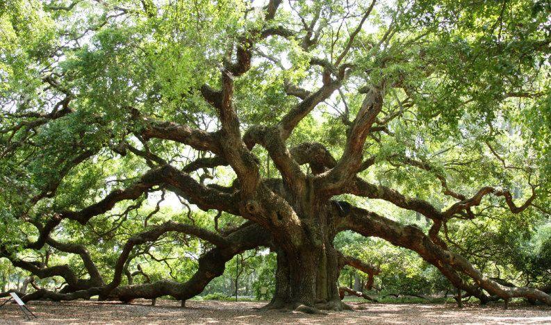 Angel Oak Southern Live Oak Tree Charleston Sc Now That S A Tree Angel Oak Trees Angel Oak Live Oak Trees