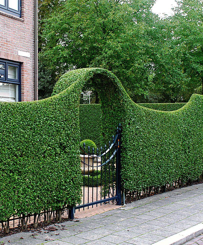 Grün bleibende Rainweide Produktbild Garten Pinterest