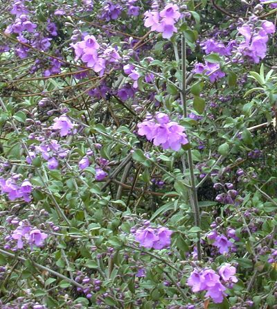 Australian mint bush stunning purple bell shaped flowers absolutely australian mint bush stunning purple bell shaped flowers absolutely cover this fragrant australian native rising mightylinksfo Images