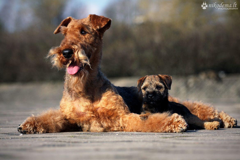 Airedale Terrier Border Terrier Puppy Hound Chien Perro