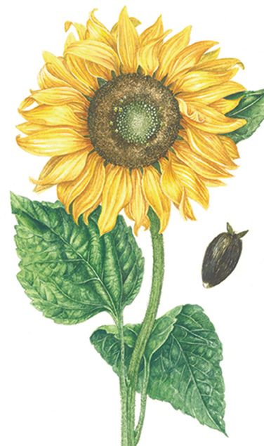 botanical illustration of sunflower