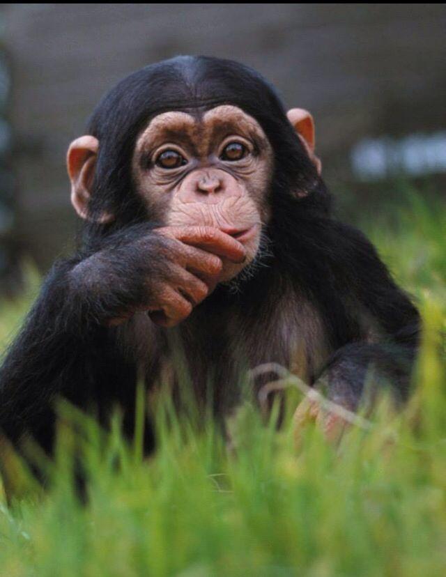 Resultado de imagen de chimpancé
