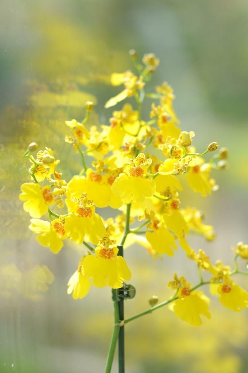 Read All About Oncidium Orchids Oncidium Orchids Oncidium Orchids
